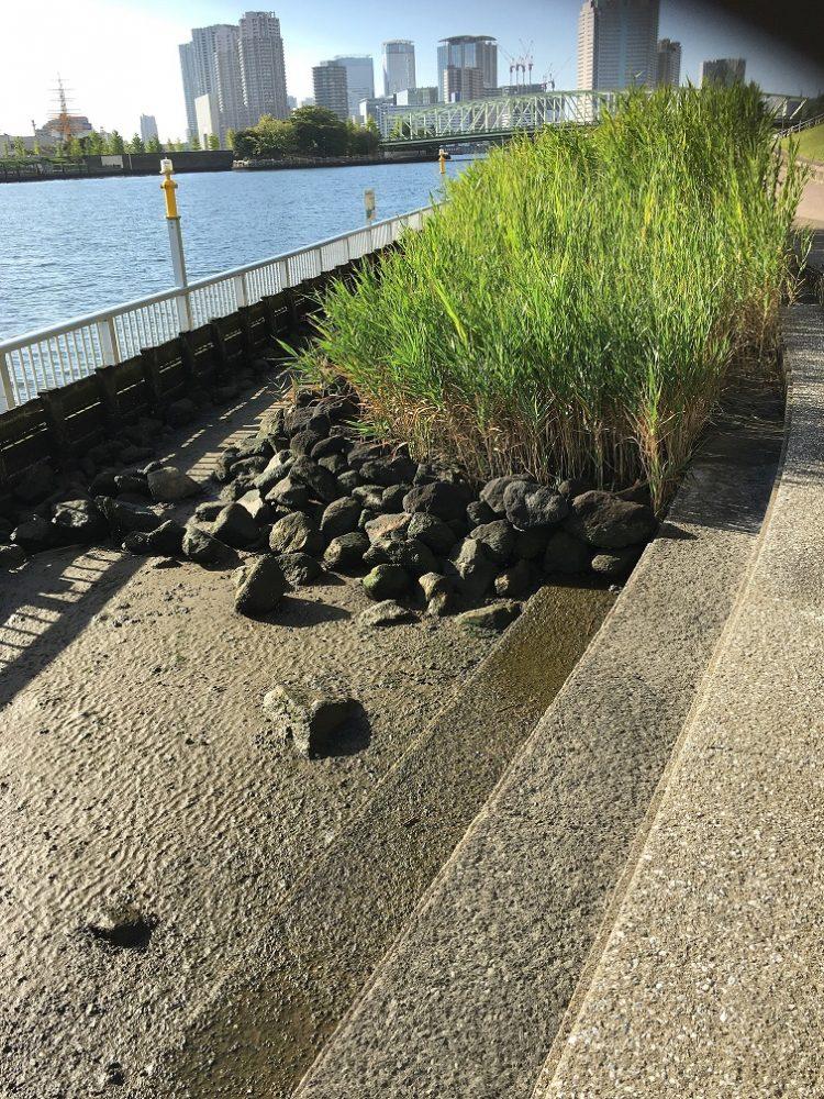 石川島公園砂浜に葦