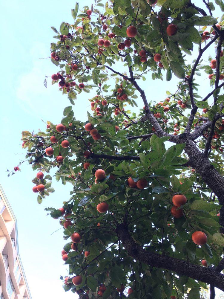 桜川屋上公園の柿